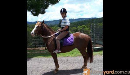 This Quarter Horse is Stella!! on HorseYard.com.au