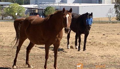 Qh mare  on HorseYard.com.au