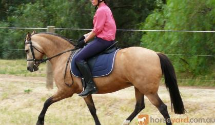 Dual Reg Buckskin Welsh B Mare 10yrs 13.3h on HorseYard.com.au