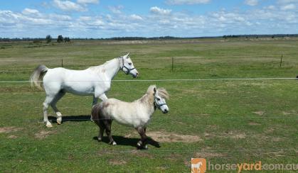 **Miniature Gelding** on HorseYard.com.au