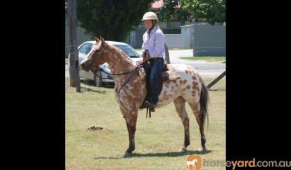 REGISTERED RED DUN LEOPARD APPALOOSA GELDING on HorseYard.com.au