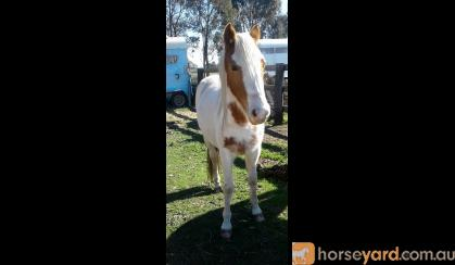 Miss Cheeky 2yo apsb x welsh on HorseYard.com.au
