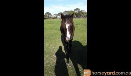 Beautiful Black Magic A.P.S.B X Riding pony Filly on HorseYard.com.au
