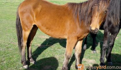 Chocky (AKA) Miss Chocolate rising 2yo clydie/Appy X A.P.S.B on HorseYard.com.au
