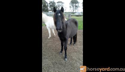 Tonka Rising 2yo grey Apsb X welsh pony gelding on HorseYard.com.au
