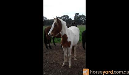 Ellie very sweet affectionate pony 2yo ready to start on HorseYard.com.au