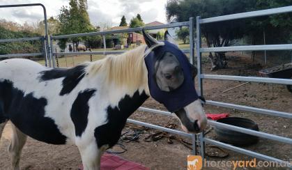 Black and white Pony on HorseYard.com.au