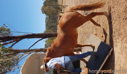 Quater pony on HorseYard.com.au