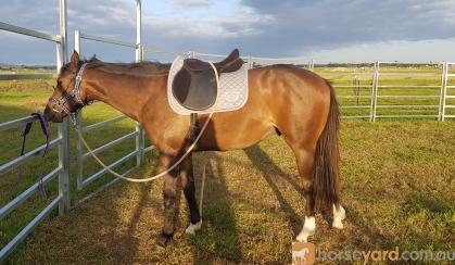3yo QH x TB Gelding on HorseYard.com.au