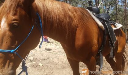 6yo thoroughbred stallion on HorseYard.com.au