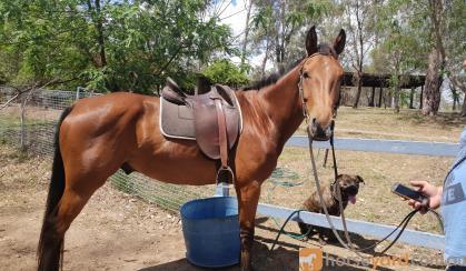 QH/STOCK HORSE on HorseYard.com.au