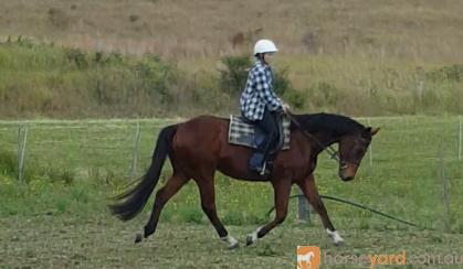 Quiet stunning bay gelding on HorseYard.com.au
