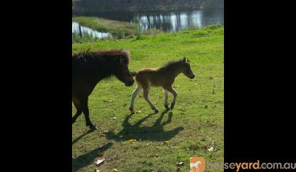 Miniature mare and foal  on HorseYard.com.au