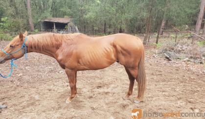 6yo TB stallion on HorseYard.com.au