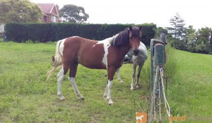 Koda on HorseYard.com.au