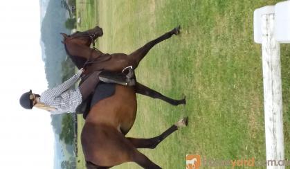 Ideal Pony Club Mount on HorseYard.com.au