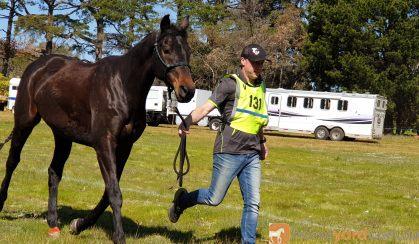 16.1hh Anglo Gelding on HorseYard.com.au