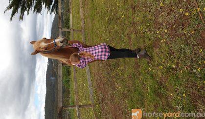 Arab riding pony on HorseYard.com.au