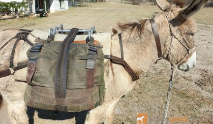Donkey for sale 12.5 hand standard bred on HorseYard.com.au