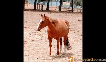 Quarter Horse mare by Ima Cool Seeker (imported) on HorseYard.com.au