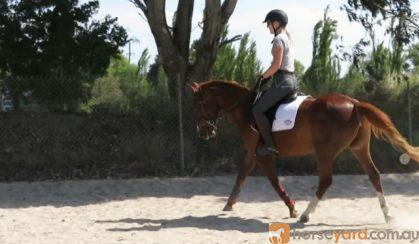 Lovely 14.2hh quarter horse allrounder  on HorseYard.com.au