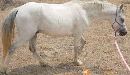 Reg Welsh A gelding on HorseYard.com.au