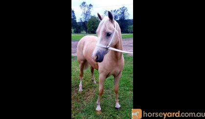Welsh D Filly on HorseYard.com.au