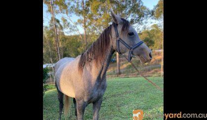 Burren-dah Valentino Bey x River Oak Arpege on HorseYard.com.au