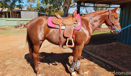 Lovely Stock Horse Mare  on HorseYard.com.au