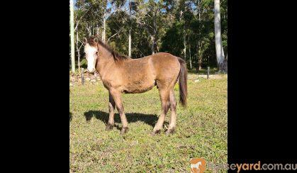 Australian/welsh pony  on HorseYard.com.au