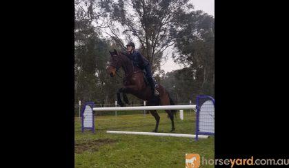 Eventing/Jumping Prospect  on HorseYard.com.au