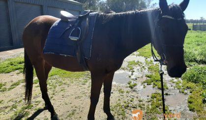 Easygoing OTTB- great trail horse prospect on HorseYard.com.au
