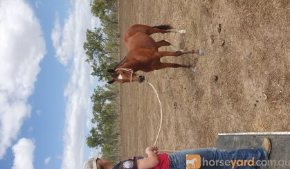Bay gelding  on HorseYard.com.au