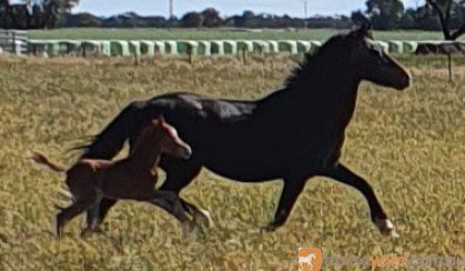 Horses for sale on HorseYard.com.au