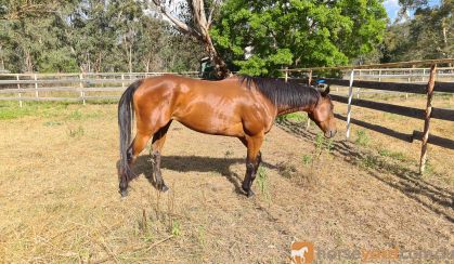 Bo on HorseYard.com.au