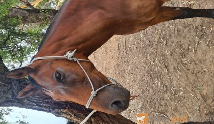 Sweet Mare needs a loving home on HorseYard.com.au