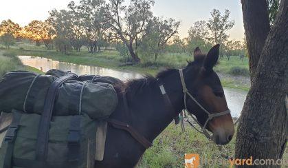 Mule for sale on HorseYard.com.au