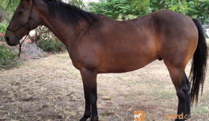 ASH x TB Gelding for Sale on HorseYard.com.au