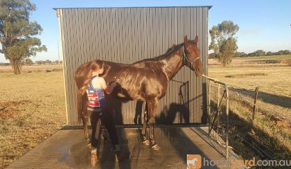 Beautiful Bay TB ***Urgent Sale*** on HorseYard.com.au