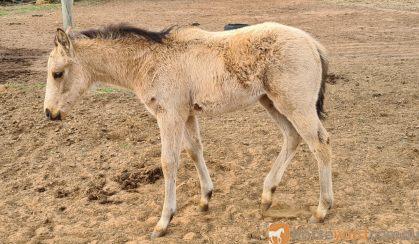 Buckskin QH x Filly on HorseYard.com.au