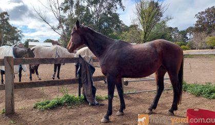 Stormy stockhorse mare on HorseYard.com.au