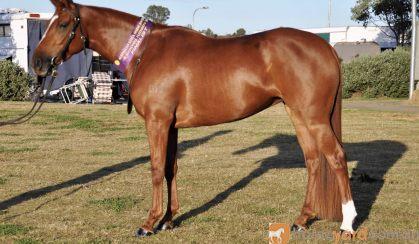 100% Heritage Reg  Stockhorse mare  on HorseYard.com.au