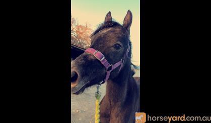 2 year old Egyptian Arabian  on HorseYard.com.au