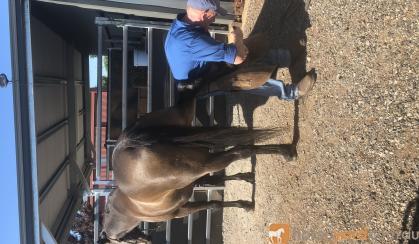 Buckskin Stockhorse  on HorseYard.com.au