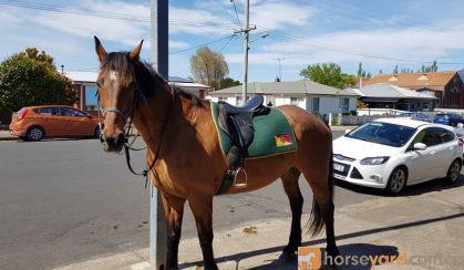 TB x Clydesdale  on HorseYard.com.au