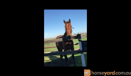 Gorgeous Standardbred  on HorseYard.com.au