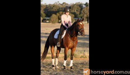 Kind OTTB Gelding  on HorseYard.com.au