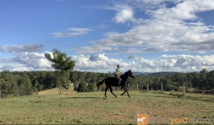 Stock horse Gelding on HorseYard.com.au
