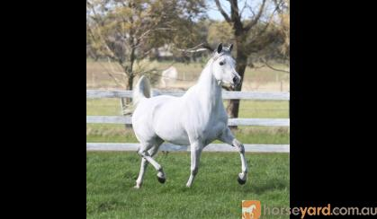 Pure Arabian mare on HorseYard.com.au