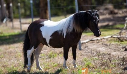 Outstanding Miniature Pony/APSB colt - Yearling on HorseYard.com.au